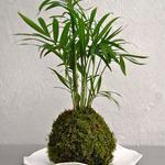 Atelier de kokedama - sphère de mousse et végétaux